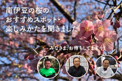 南伊豆町の800本桜レポート〜前編〜2月のおすすめ桜スポットを南伊豆の桜に詳しい三人に聞いてみた
