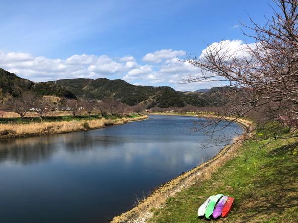 青野川。4月は川沿い一面がソメイヨシノが花開く