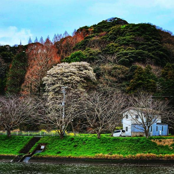 勝田さん撮影。「ここの山桜は樹齢は多分200年から300年くらいはあると思うんですよね。あまり知られていませんが、個人的にこの桜はもっと注目されてもいいなと思っています」